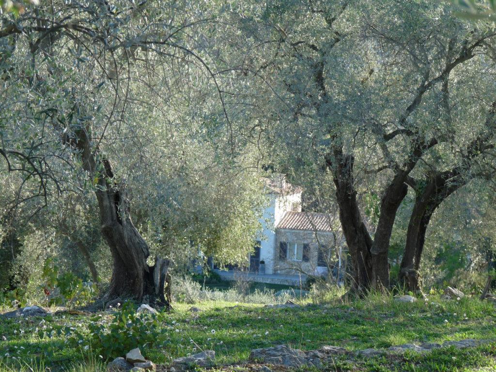 Oliveraie à Opio en Provence